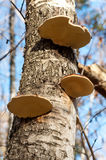 Birch trunk with polypore mushrooms Stock Images