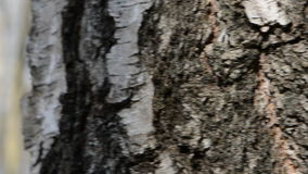 Birch trunk with spigot and sap drops. Birch tree trunk with spigot and sap drops stock video