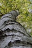 Birch trunk Stock Photo