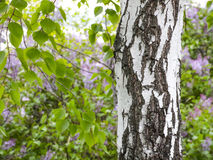 Birch trunk. Textured background. Spring in a birch grove. Branches of blooming lilacs in the background in a blur Stock Photography
