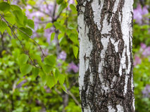 Birch trunk. Textured background. Spring in a birch grove. Branches of blooming lilacs in the background in a blur Royalty Free Stock Photos