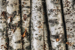 Birch trunks Royalty Free Stock Images