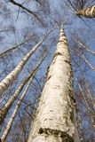 Birch trunks. Black and white birch trunks - a wonderful natural rhythm royalty free stock photography