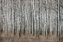 Birch trunks Stock Image