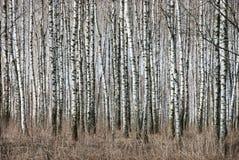 Birch trunks Stock Image