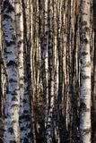 Birch trunks Stock Photos