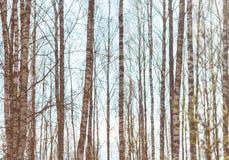 Birch trunks against the sky Stock Photo