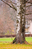 Birch trunks in autumn. Birch trunk and leaves in autumn Royalty Free Stock Images