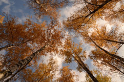Birch trunks with autumn leaves Stock Images