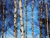 Birch trunks background Royalty Free Stock Images