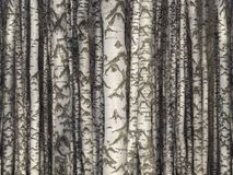 Birch trunks. Birch trees trunks - black and white natural background stock images