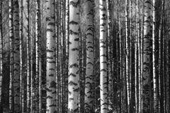 Birch trunks fill the space frame Stock Photography