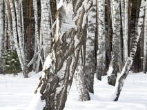 Birch trunks in forest. Wintertime and daylight. Royalty Free Stock Photography