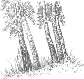 Birch trunks and grass Stock Image