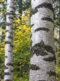 Birch Trunks In Forest Stock Photo