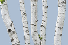 Birch trunks (isolated) Royalty Free Stock Photography
