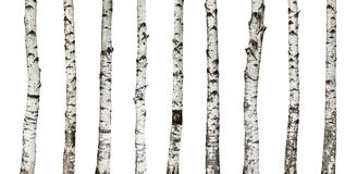 Birch Trunks Isolated On White Background Royalty Free Stock Photography