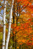 Birch Trunks and October Maple Royalty Free Stock Image