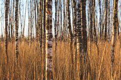 Birch trunks. Among the reeds in the woods Stock Photo