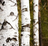 Birch trunks Royalty Free Stock Photos