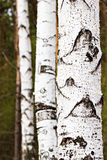 Birch trunks Stock Photography