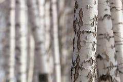 Birch trunks Royalty Free Stock Photos