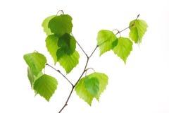 Birch twig Royalty Free Stock Image