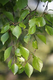 Birch twig Stock Photography