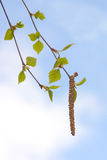 Birch twig with green leaves Stock Images