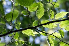 Birch Twig with Green Leaves. Birch Leaves on Twig in Backlight Royalty Free Stock Photography