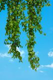 Birch twigs in the blue sky Stock Photo