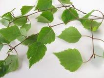 Birch twigs Stock Photo