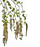 Birch twigs with young spring leaves and seeds isolated on white background. Branches of birch tree with young spring leaves and earrings close up, isolated on stock photography