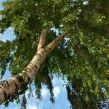 Birch umbrella. Under the branches of a birch Royalty Free Stock Photos