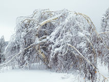 Birch under pressure. Birch tree under high pressure by snow and ice Royalty Free Stock Image
