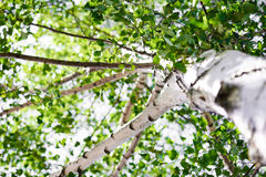 Birch view from below. Birch with leaves at the top Royalty Free Stock Photo