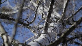 Birch view from under. Birch tree with branches stagger in the wind with many young buds stock footage