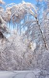 The birch was inclined under snow weight Stock Images