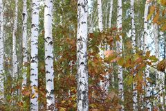 Birch with white bark in early autumn Royalty Free Stock Photography