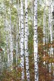 Birch with white bark in early autumn Royalty Free Stock Images