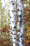 Birch with white bark in early autumn Stock Image