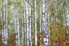Birch with white bark in early autumn Stock Photo
