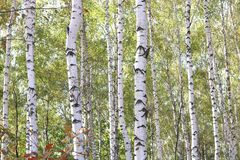 Birch with white bark in early autumn Royalty Free Stock Image