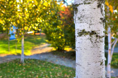 Birch white trunk close-up image. Stock Photo