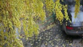 Birch in the wind stock video