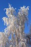 Birch in winter Royalty Free Stock Photos
