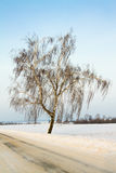 Birch (winter) Royalty Free Stock Photo