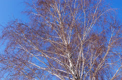 Birch is winter Royalty Free Stock Photo