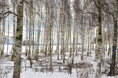Birch in winter Royalty Free Stock Images