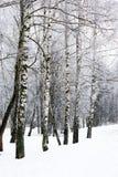 Birch winter alley Stock Photos